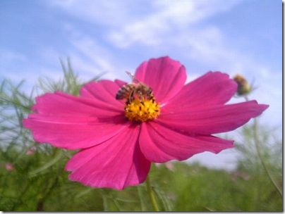 Cosmos_and_bee